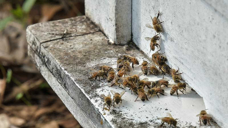 bees flying back in hive after a harvest period stock photo
