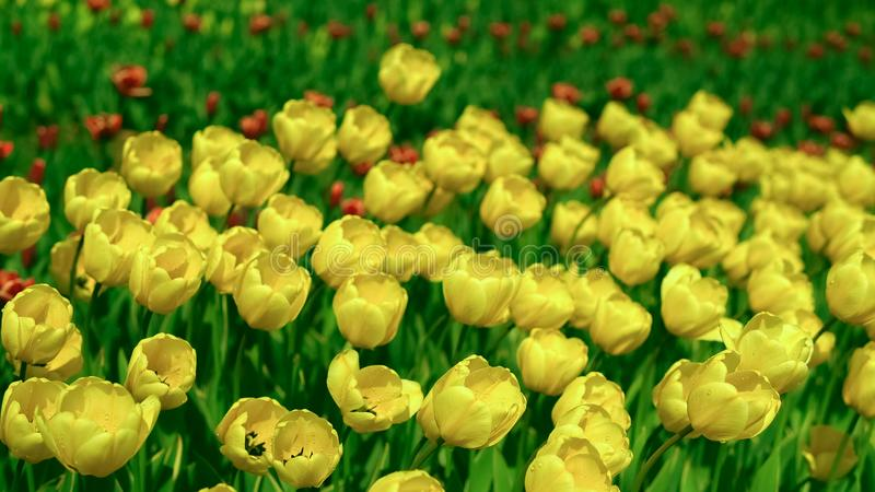 Bees flying over the tulips. Flower garden in the morning. Mild wind is shaking plants royalty free stock image