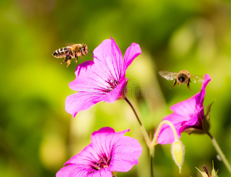 Bees flying to geranium flower blossoms royalty free stock image