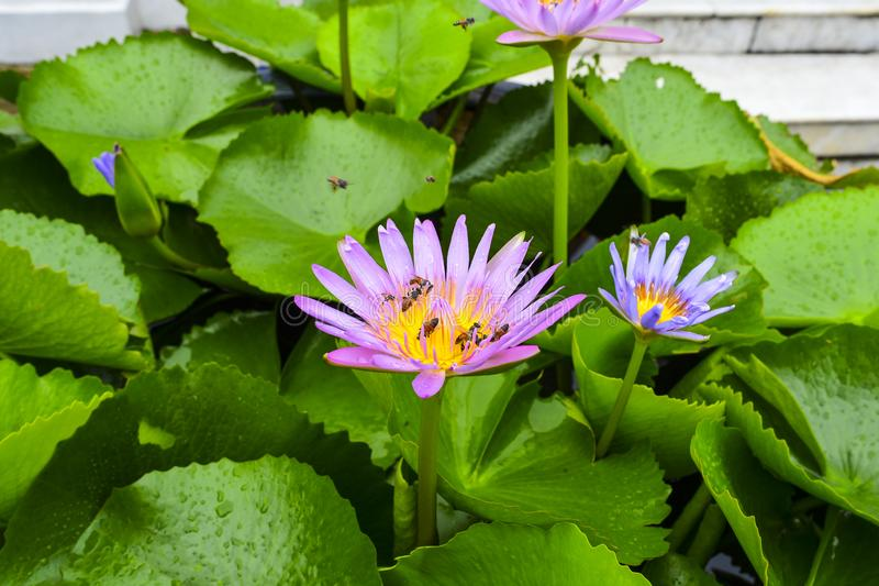 The bees are flying on the water lilies. With the green leaves in the background.  stock image