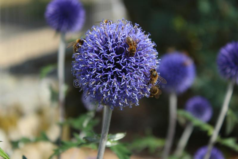 Bees foraging stock photo