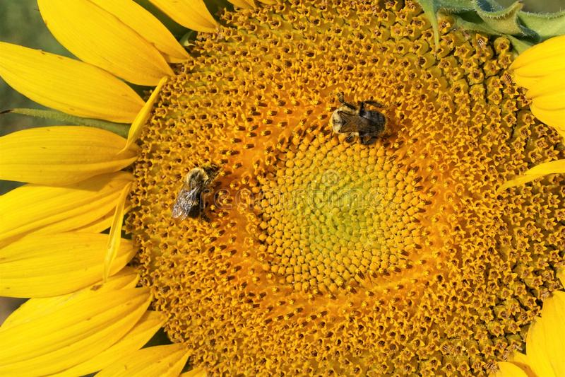 Bees covered in pollen on a sunflower stock photos