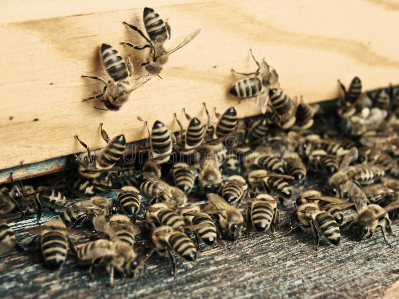 Bees hive. A close up of bees, bee hive royalty free stock photo