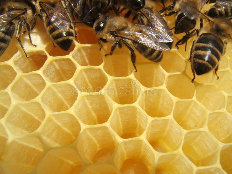 Bees in a hive. A close-up image of bees making honey in a hive royalty free stock photos