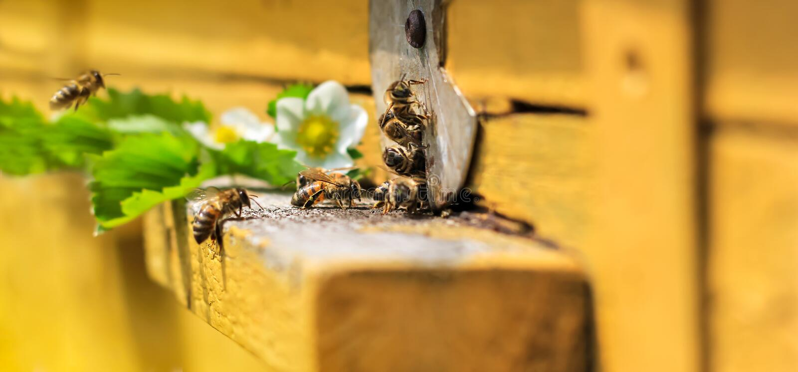Bees on hive. Bees fly in hive. White flowers of strawberry. Green leaf royalty free stock images