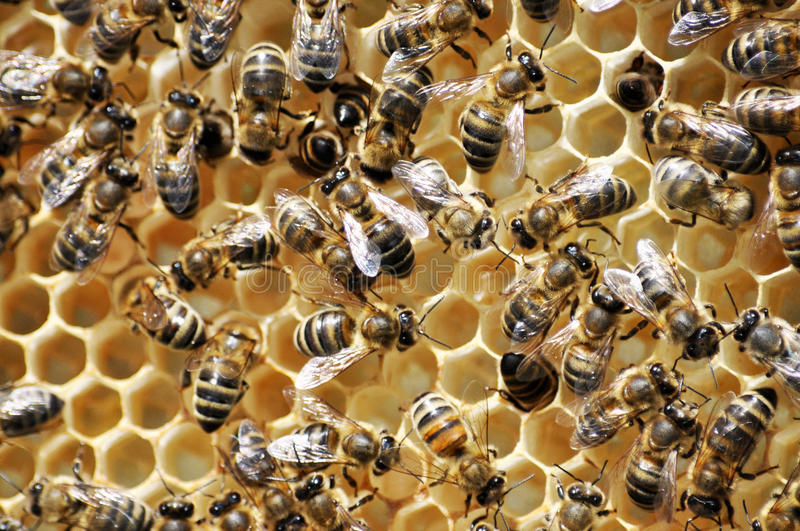 Bees in the hive with honey on the frame royalty free stock image