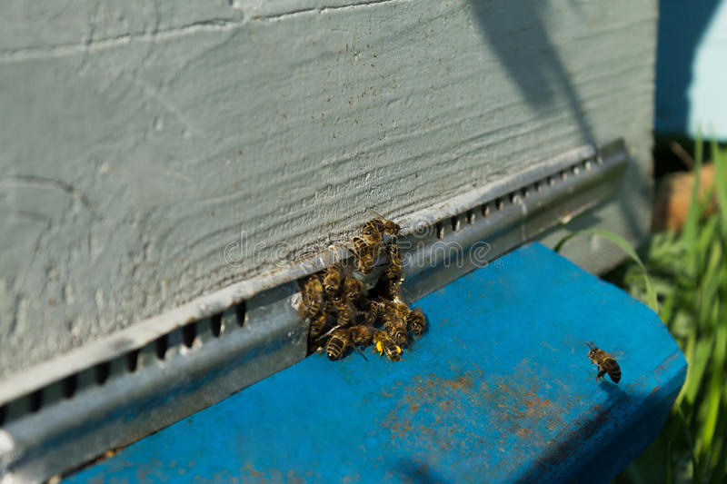 Bees on the hive. On-the-job stock image