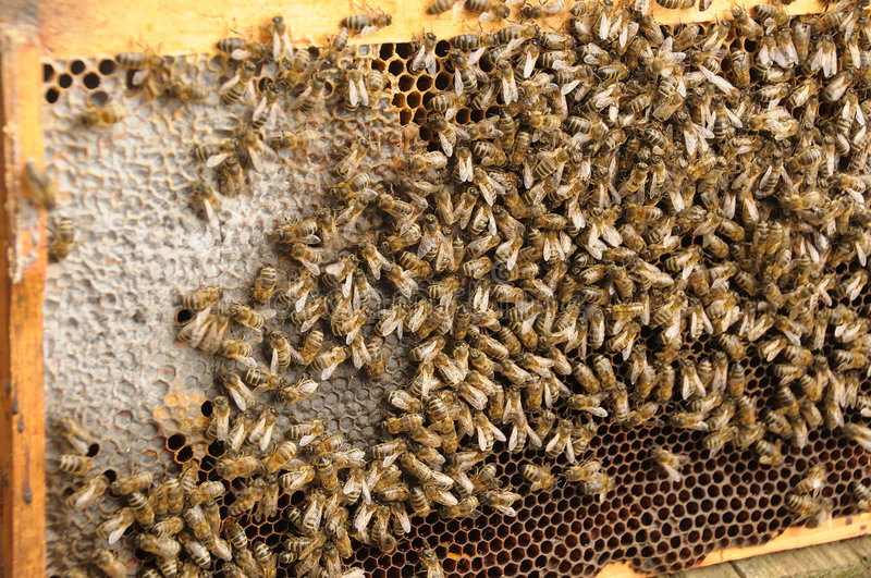 Bees and honey royalty free stock photography
