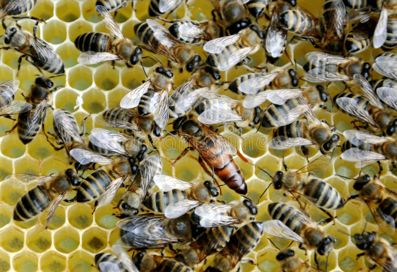 Bees on honey cells with the queen royalty free stock image