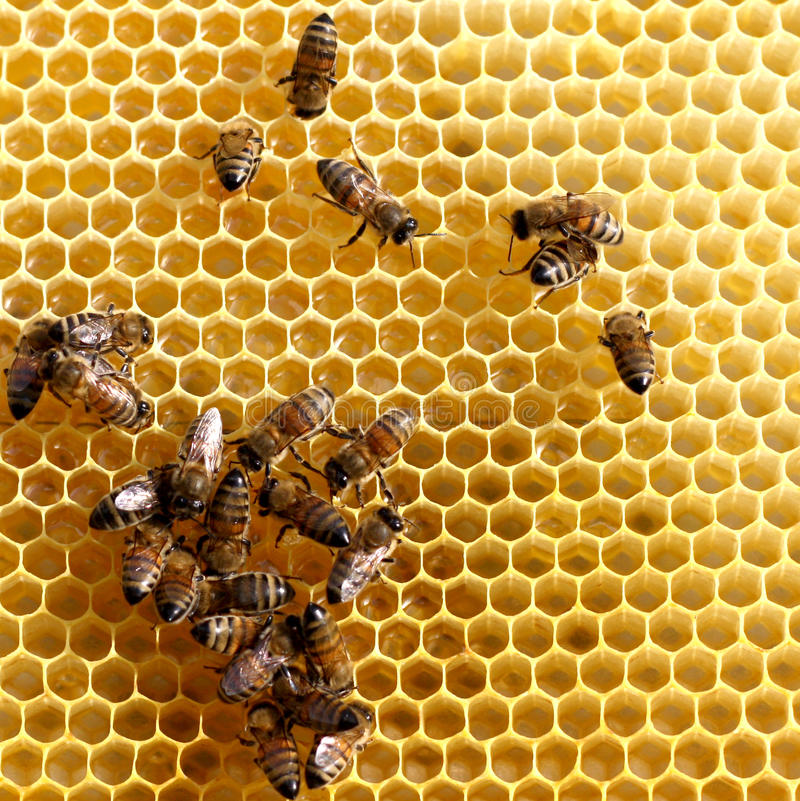 bees on honey comb stock images