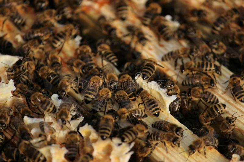 Bees, honey bees a whole hive stock photos