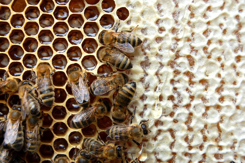 Download Bees on honeycomb stock photo. Image of comb, apiculture - 14795660