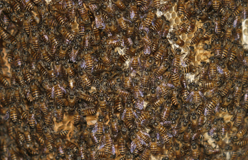 Bees and honeycomb stock image
