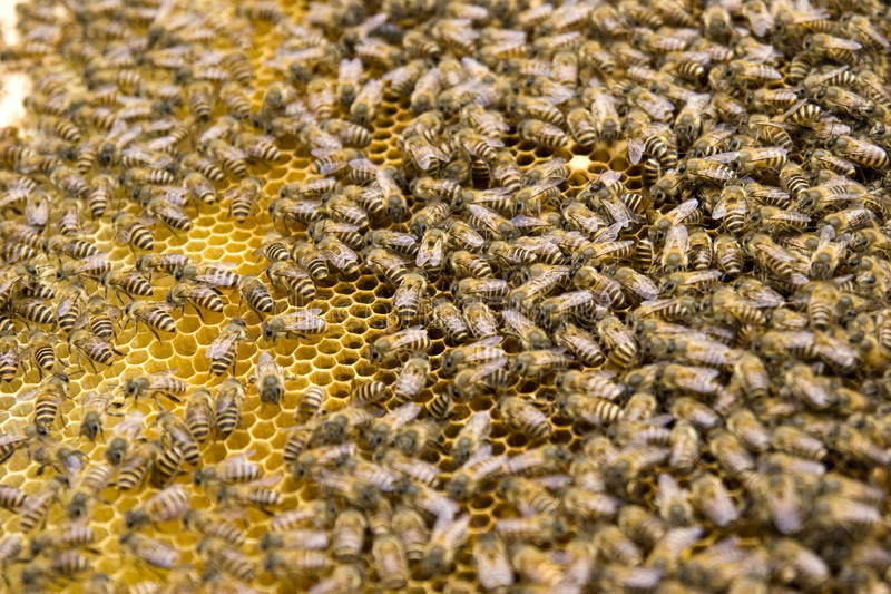 Bees in honeycomb stock image