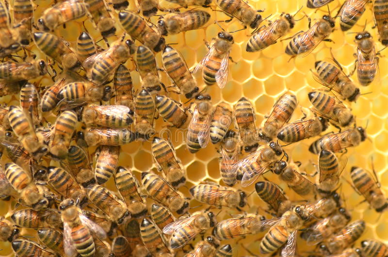 Bees on honeycomb. In apiary stock photos