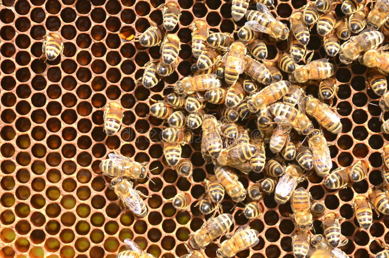 Bees on honeycomb in apiary. In the summertime royalty free stock photos