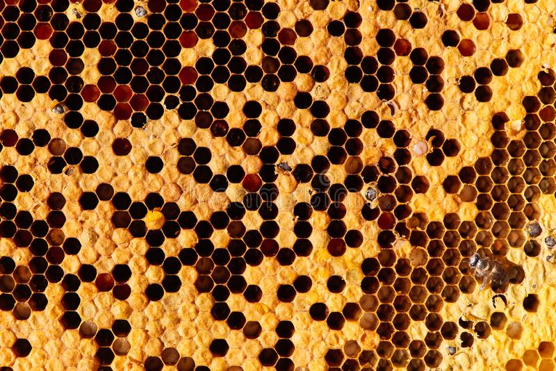 Bees on honeycomb. Close-up of bees on honeycomb in apiary in the summer. royalty free stock photos