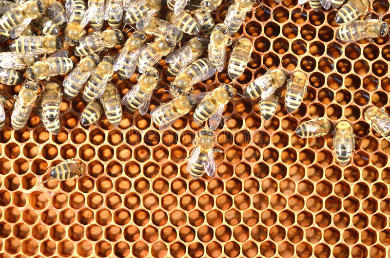 Bees on honeycomb. Close-up of bees on honeycomb eating honey royalty free stock photo
