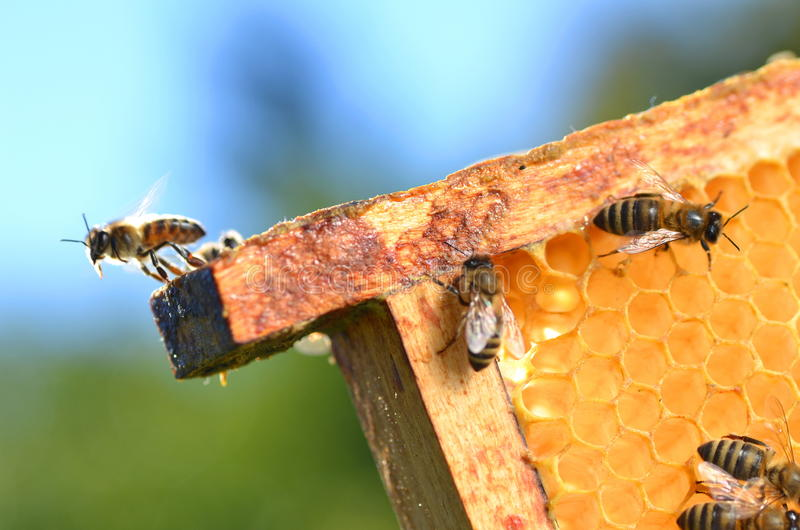 Bees on honeycomb stock images
