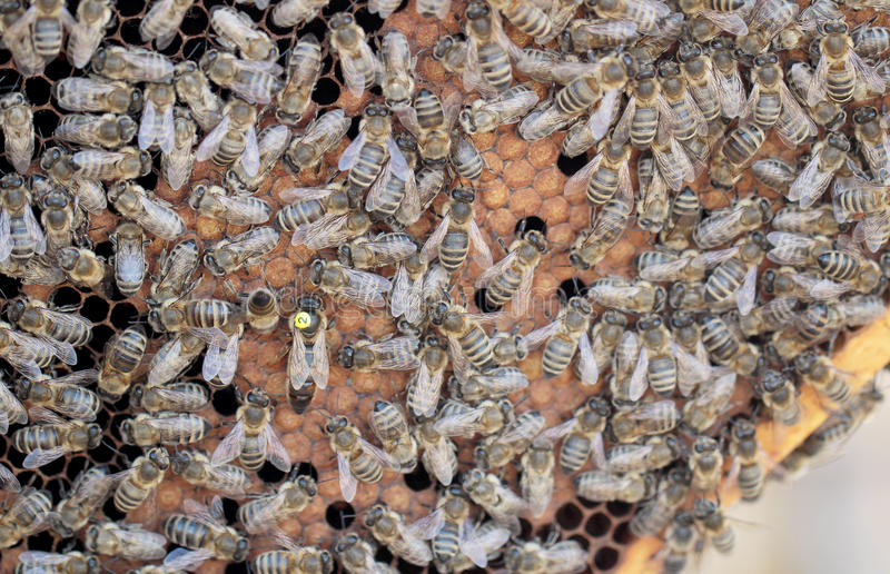 Bees. On honeycomb in hive stock image