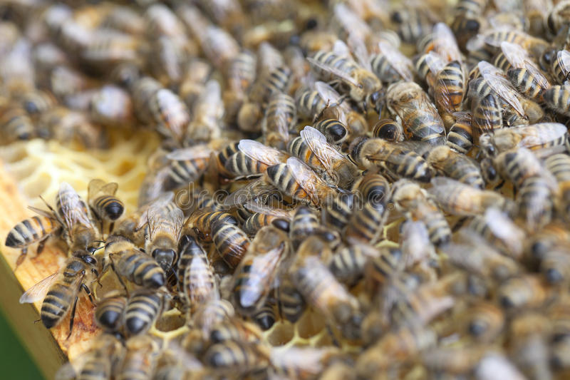 Bees on honeycombs. Bees in the beehive stock photos