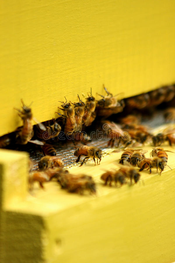 Free Bees In A Beehive Royalty Free Stock Images - 11184819