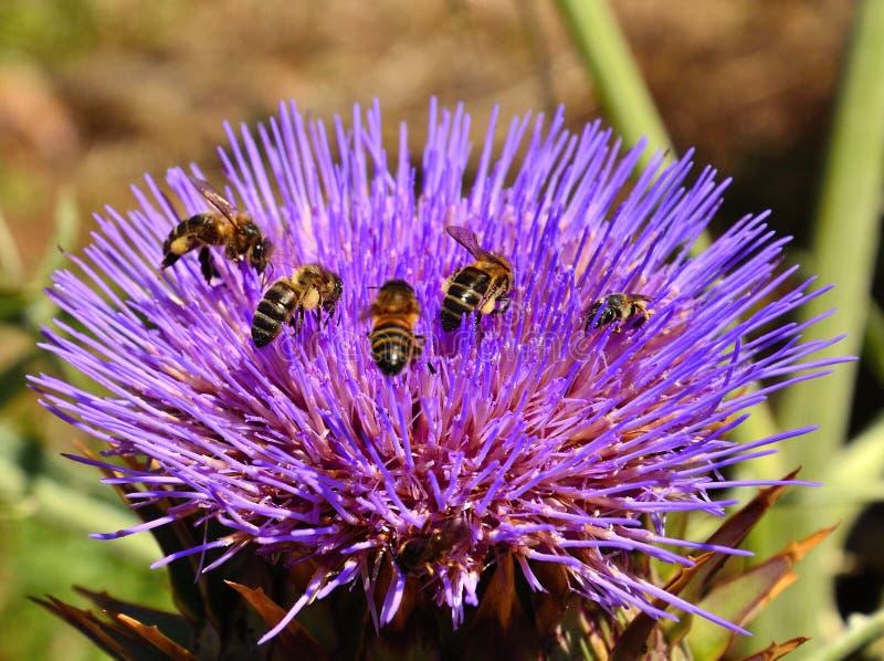 Bees inside artichoke flower stock photography