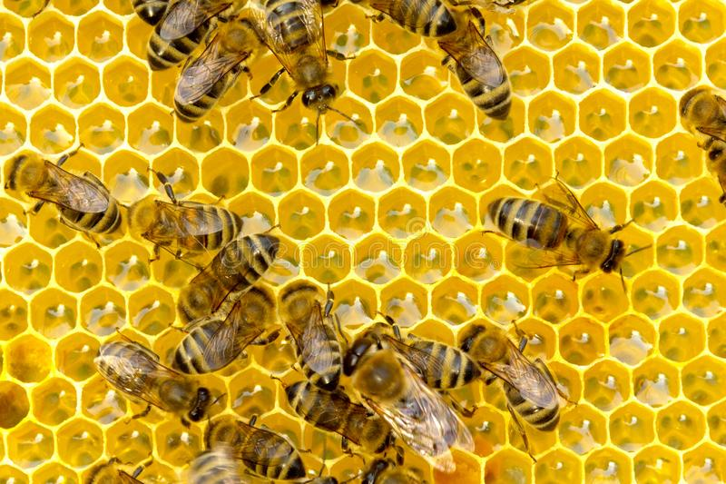 Bees inside the hive royalty free stock photo
