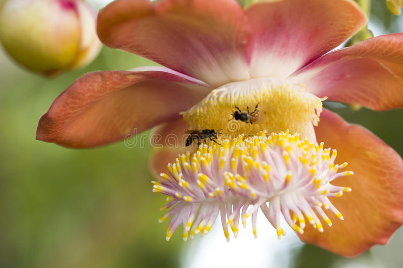 Bees keeping honey from the flowers, with closed-up, and beautiful textured on the flower leaves. Bees keeping honey from the flowers, with closed-up, and stock photos