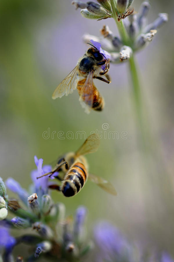 Bees on lavender royalty free stock image