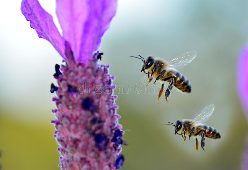 bees looking for honey and pollen in lavender field royalty free stock photos
