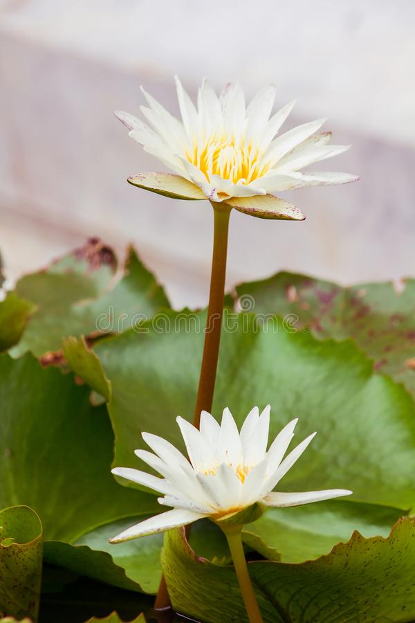 The bees are in the  lotus bloom,. Sucking the nectar, pollen royalty free stock photography