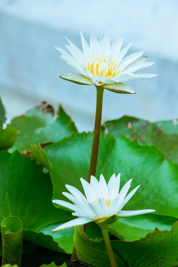 The bees are in the  lotus bloom,. Sucking the nectar, pollen royalty free stock images