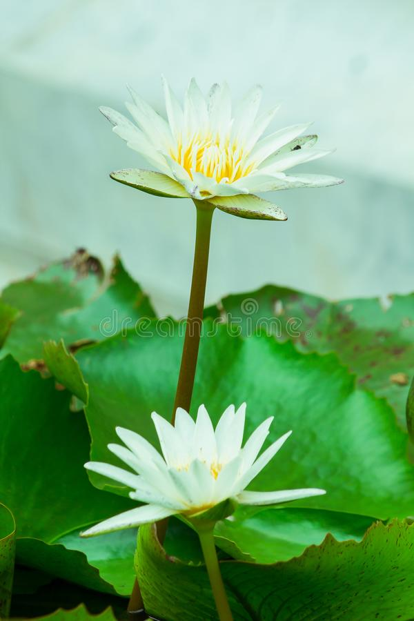 The bees are in the  lotus bloom,. Sucking the nectar, pollen stock photo