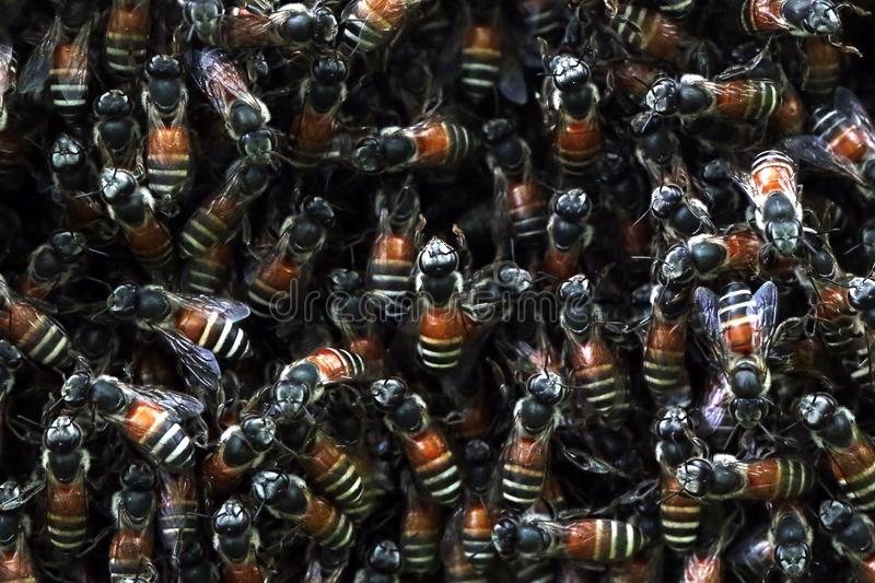 Download Bees stock image. Image of bees, insect, nature, animal - 43457125