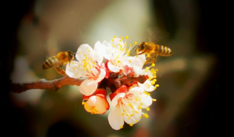 Bees on peach blossoms royalty free stock photography