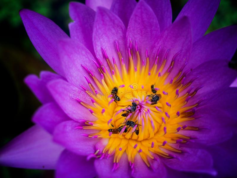 The bees in pollen of lotus stock photo
