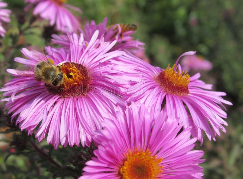 Bees On Pretty Purple Aster Flowers At The Vancouver Park Garden. In Summer 2019 stock image