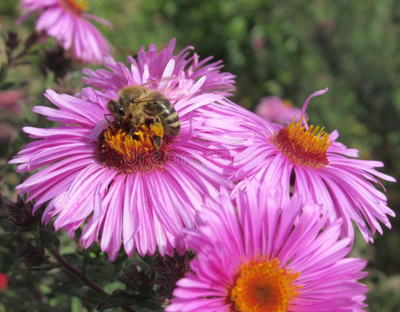 Bees On Pretty Purple Aster Flowers At The Vancouver Park Garden. In Summer 2019 stock photography
