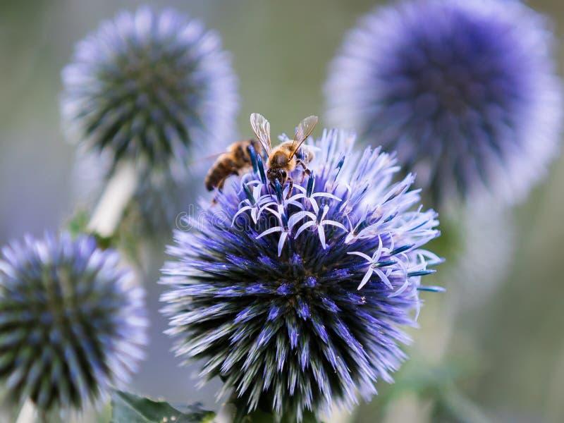 Bees on purple bulbs royalty free stock photos
