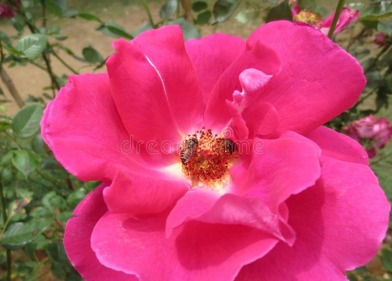 Bees on red rose royalty free stock photography