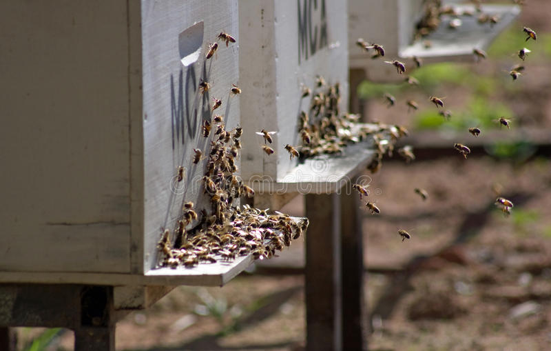 Bees returning to their hive stock photos