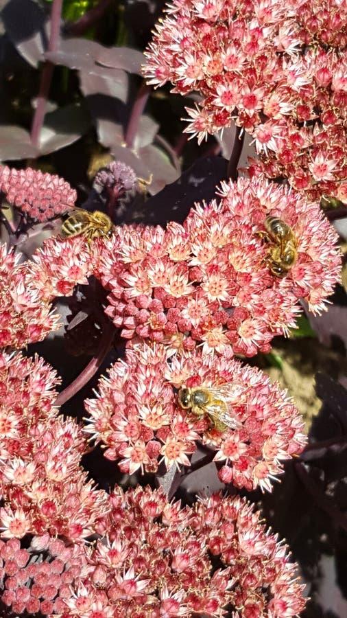 Bees on Sedum. At Great Comp Garden stock photo
