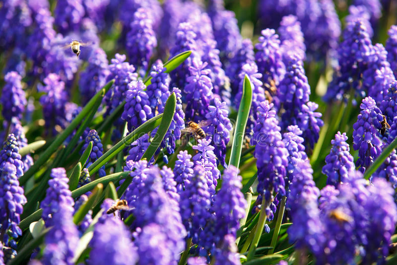 Bees on spring flowers royalty free stock photos