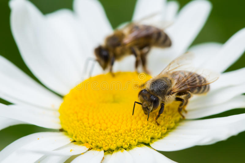 Bees sucking nectar from a daisy flower. Bees sucking nectar from daisy flower stock photo