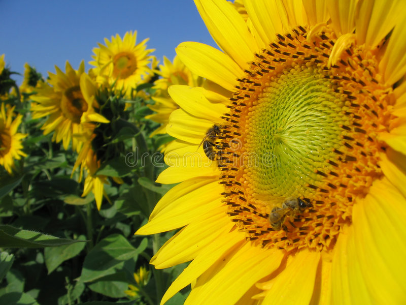 Bees on sun-flower stock image