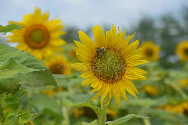 Bees and sunflowers royalty free stock image