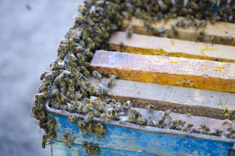 The bees swarm alongside the evidence. Snare trap.swarm of bees. stock photos