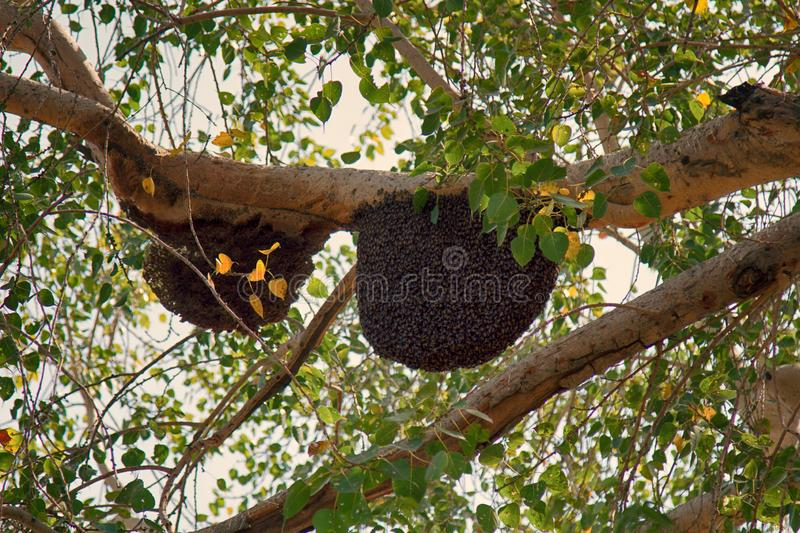 Bees swarm on tree branches royalty free stock photo