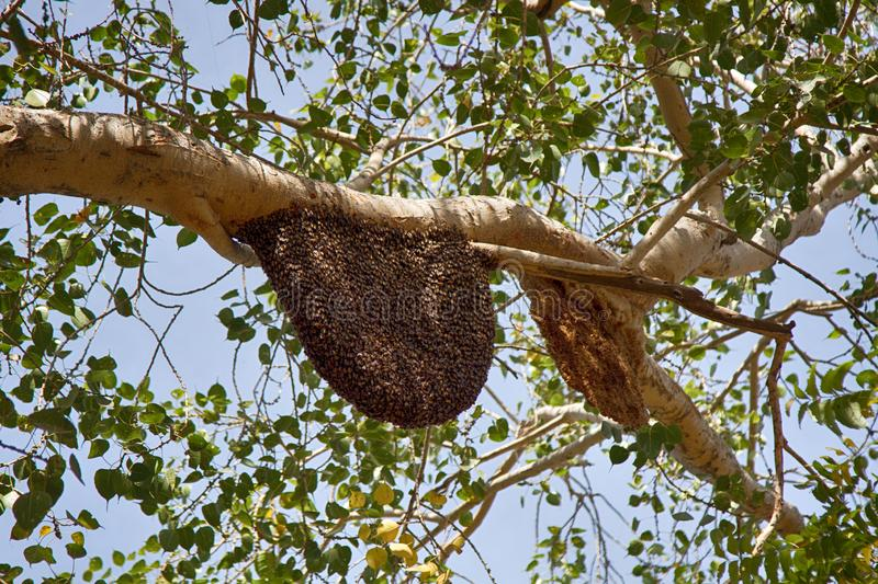 Bees swarm on tree branches. Swarming behavior, colonies, diameter of nest of wax honeycombs about meter. Jaisalmer, Great Indian desert Thar, parkland. Indian royalty free stock photography